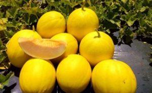 Brasil se aproveita de colheita de melão na época de entressafra da Europa para oferecer novas variedades